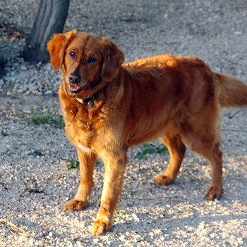 Golden Irish Breed Information