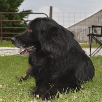 Photo of adult Golden Newfie