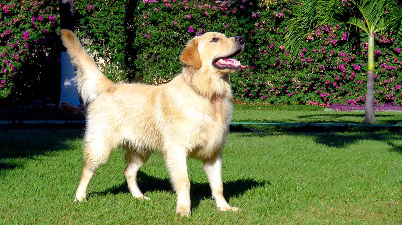 Golden Retriever Large Photo