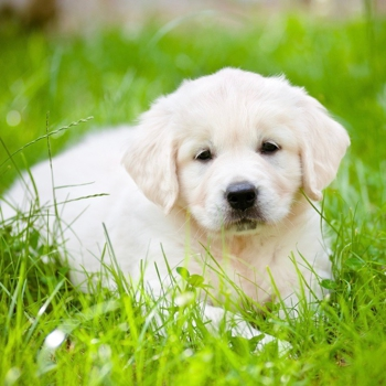 Photo of Golden Retriever puppy