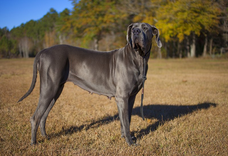 Great Dane Large Photo
