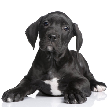 Photo of Great Dane puppy