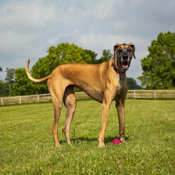 Photo of adult Great Dane