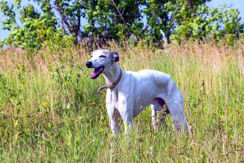 Greyhound Large Photo