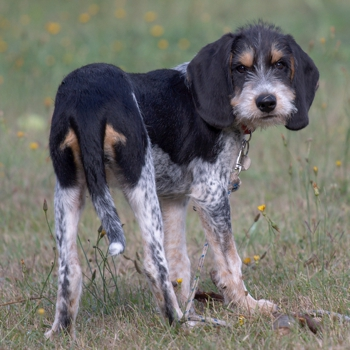Photo of Griffon Bleu de Gascogne puppy