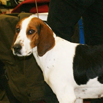 Photo of adult Halden Hound