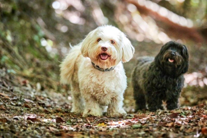 Havanese Large Photo