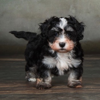 Photo of Havanese puppy