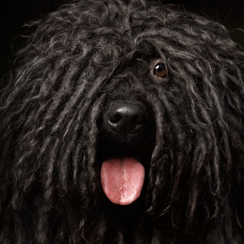 Photo of adult Hungarian Puli