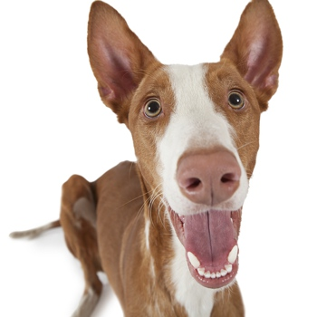 Photo of adult Ibizan Hound