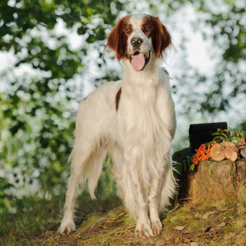 Photo of adult Irish Red and White Setter
