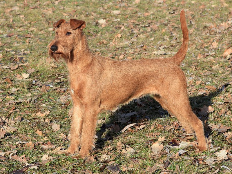 Irish Terrier Large Photo