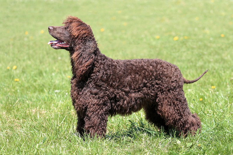 Irish Water Spaniel Large Photo