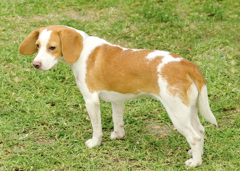 Istrian Shorthaired Hound Large Photo