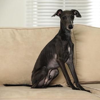 Italian Greyhound Breed Information