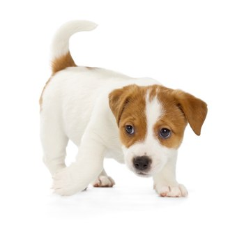 Photo of Jack Russell Terrier puppy
