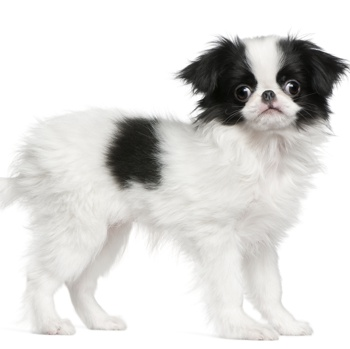 Photo of Japanese Chin puppy