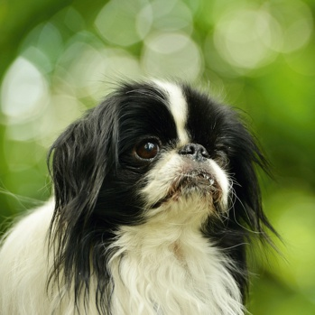 Photo of adult Japanese Chin