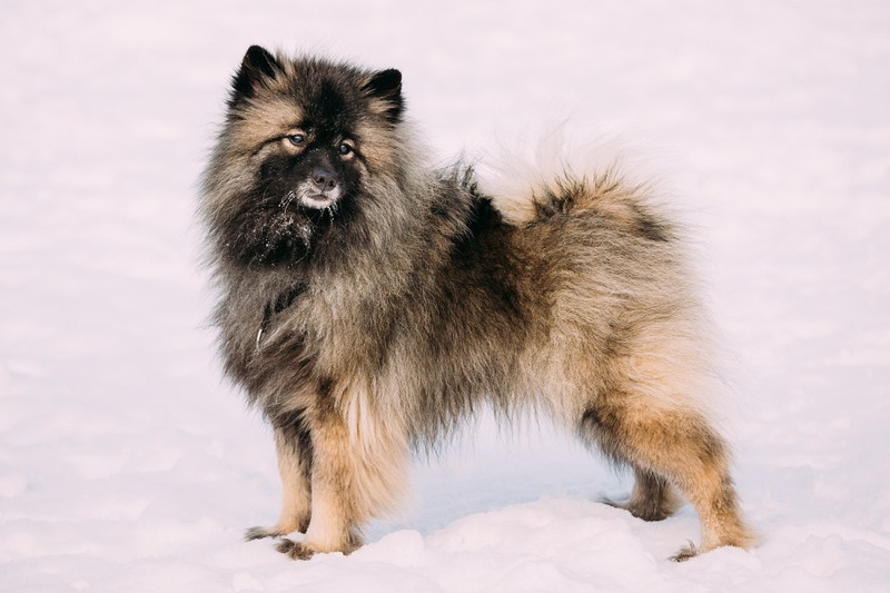 Keeshond Large Photo