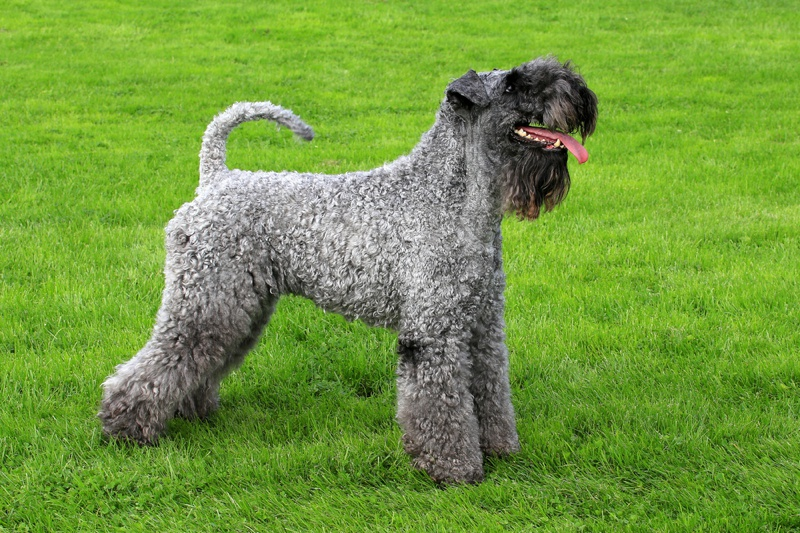 Kerry Blue Terrier Large Photo