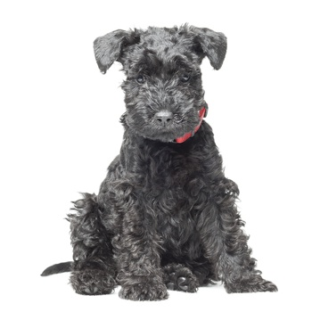Photo of Kerry Blue Terrier puppy