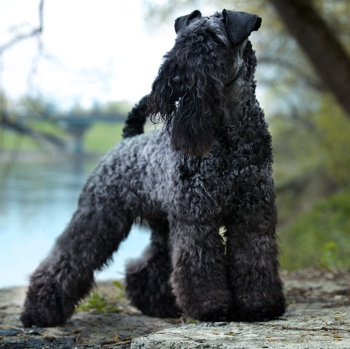 Photo of adult Kerry Blue Terrier