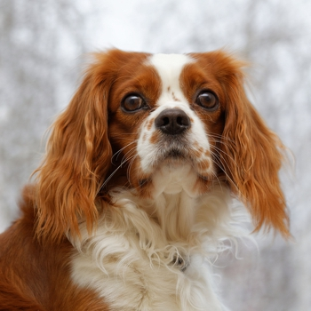 Photo of adult King Charles Spaniel