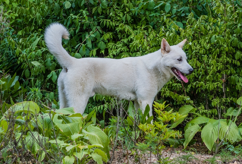 Korean Jindo Large Photo