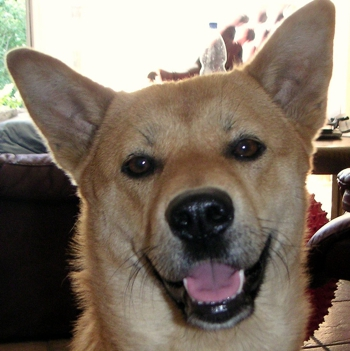 Photo of adult Korean Jindo