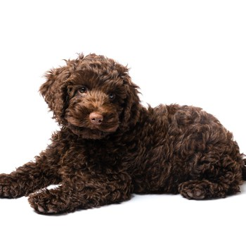 Photo of Labradoodle puppy