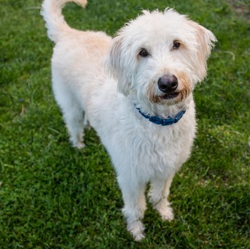 Photo of adult Labradoodle