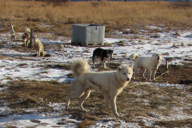 Labrador Husky Large Photo