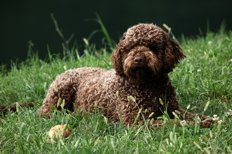 Lagotto Romagnolo Large Photo