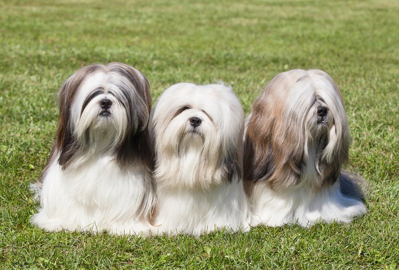 Lhasa Apso Large Photo