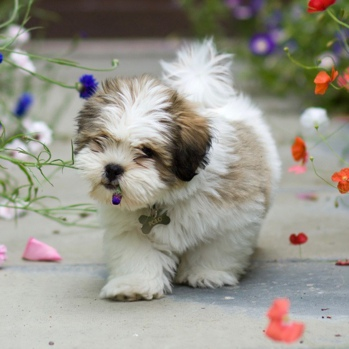 Photo of Lhasa Apso puppy