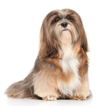 Photo of adult Lhasa Apso