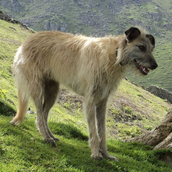 Photo of adult Lurcher