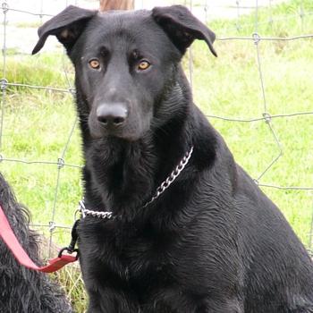 Majorca Shepherd Dog Breed Information, Characteristics & Heath Problems | DogZone.com