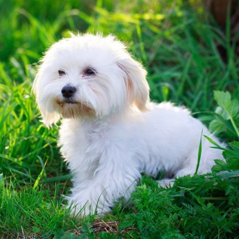 Photo of adult Maltese
