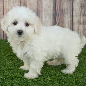Photo of Maltipoo puppy