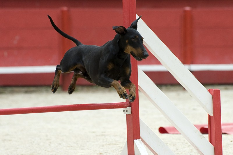 Manchester Terrier Large Photo