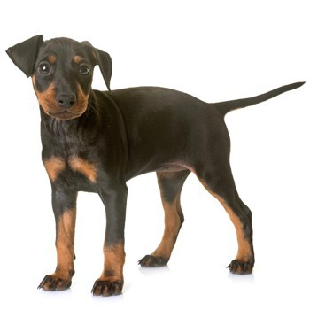 Photo of Manchester Terrier puppy