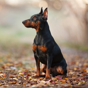 Miniature Pinscher Breed Information