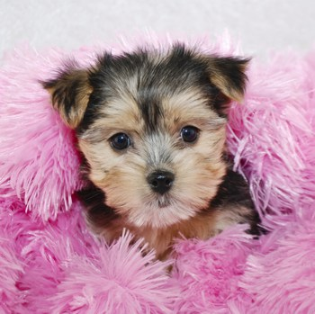 Photo of Morkie puppy