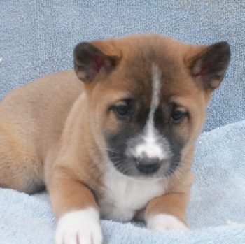 Photo of New Guinea Singing Dog puppy
