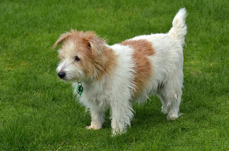 Norfolk Terrier Large Photo