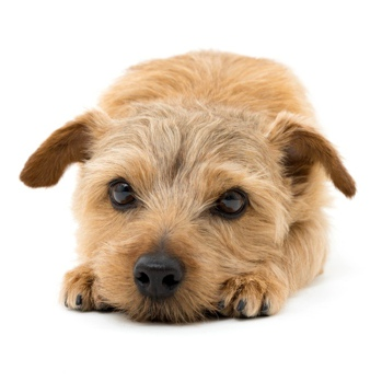 Photo of Norfolk Terrier puppy