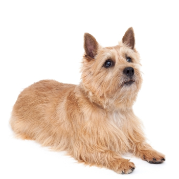 Photo of adult Norwich Terrier