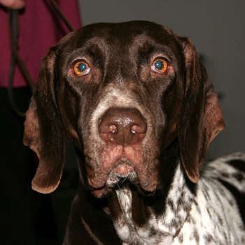 Old Danish Pointer