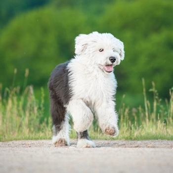 Photo of Old English Sheepdog puppy